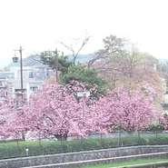 窓から望む長岡天満宮・八条ヶ池の畔には、ソメイヨシノ(3月下旬~)、八重桜(4月中旬~)があり、長く桜を楽しめます。