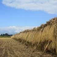 2017年秋から自家栽培のお米も提供しております。少しでも新鮮でおいしいお米を皆様に食べていただけるよう昔ながらの天日干しにこだわり、太陽の光をいっぱいに浴びたおいしいキヌムスメを提供しています。
